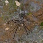 Psechridae - Pschrus sp ? - 20 mm - Bulusan lake - 29.9.14