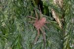 Sparassidae - Heteropoda sp ? - 18 mm - Bulusan lake - 18.10.14