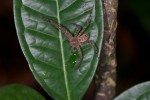 Sparassidae - 15 mm - Bulusan lake - 18.10.14