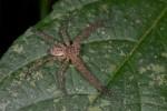 Sparassidae - 13 mm - Bulusan lake - 10.11.14