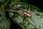 Sparassidae - 19 mm - Quezon - 7.9.14
