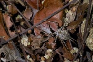 Araneae - Hersilidae - Hersilia sp - 18 mm - Quezon - 7.9.14