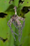 Sparassidae - Exuvie - May It - 6.9.14