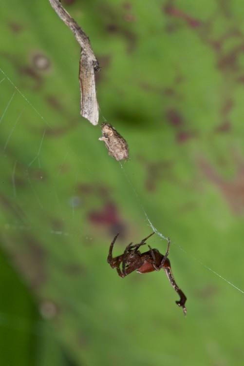 Arachnura sp - 15 mm - May It - 6.9.14