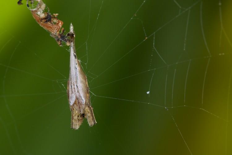 Arachnura sp - 17 mm - Palaisdan - 6.3.15