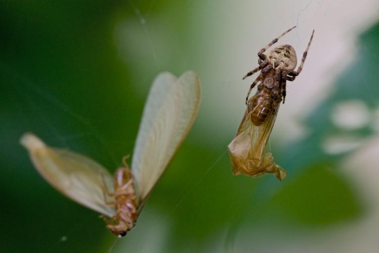 Araneidae - 8 mm - May It - 31.8.14