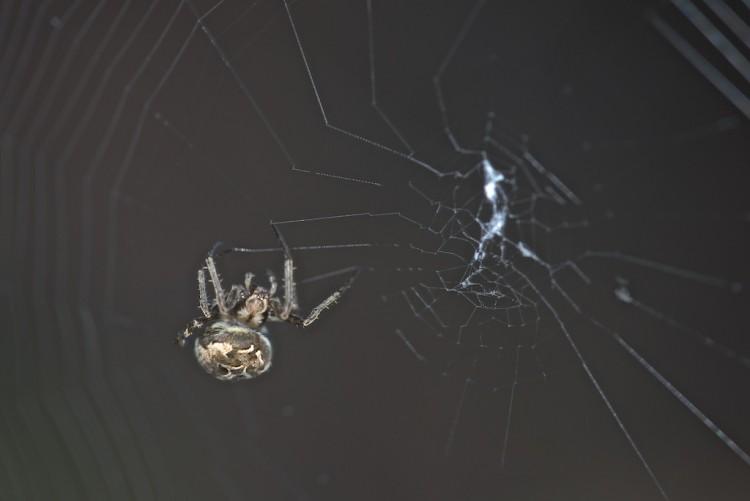 Araneidae-Neoscoma nautica-11 mm-Palaisdan-  6.3.15