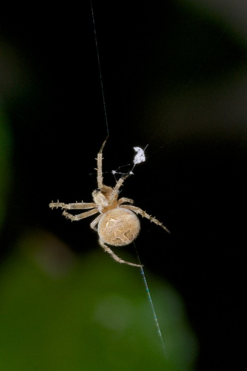 Araneidae - 7 à 8 mm - Bulusan - 26.9.14