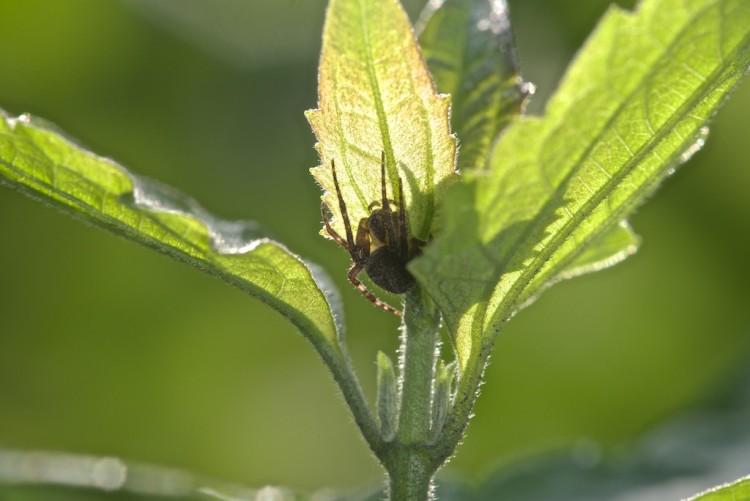 Araneidae - 10 mm - Lucena - 12.10.14