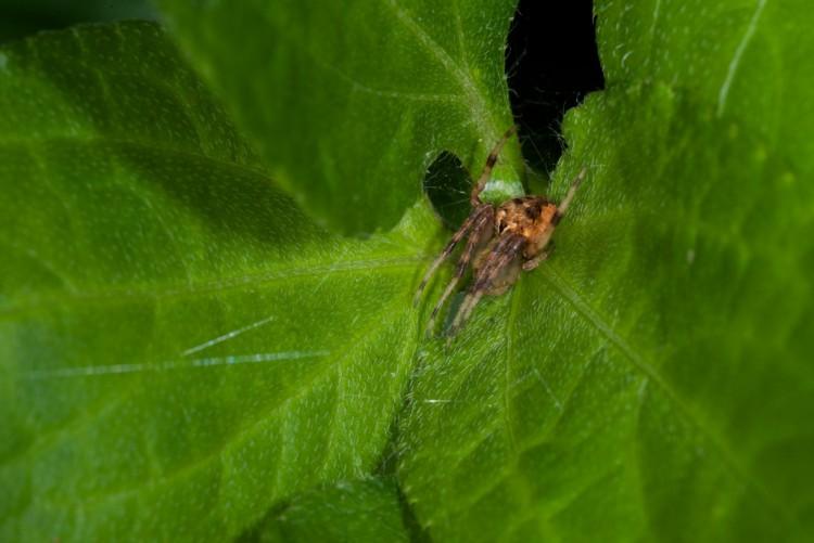 Araneidae - 7 mm - May It - 6.9.14