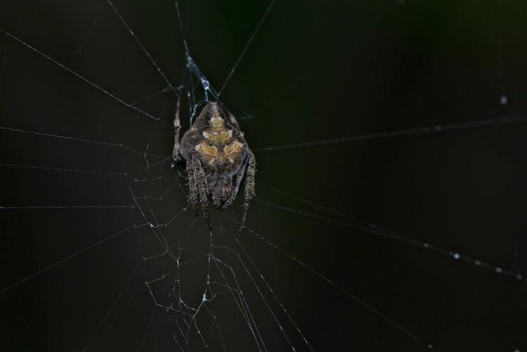 Araneidae - 13 mm - May It -  22.1.14