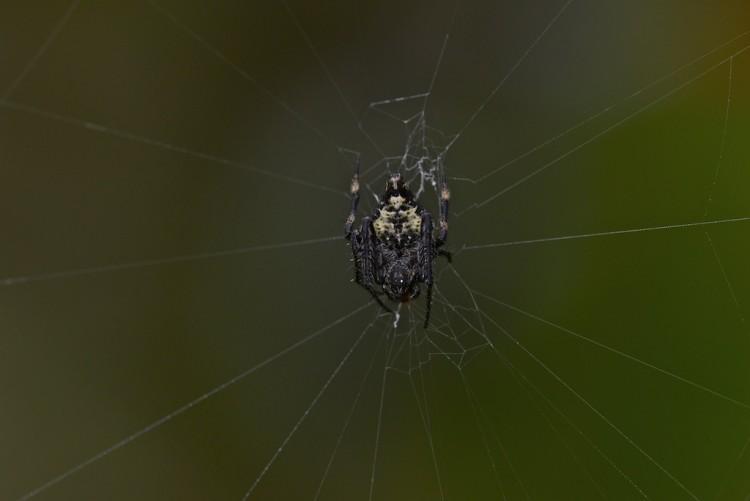Araneidae - 11 mm - Banaue - 13.1.14