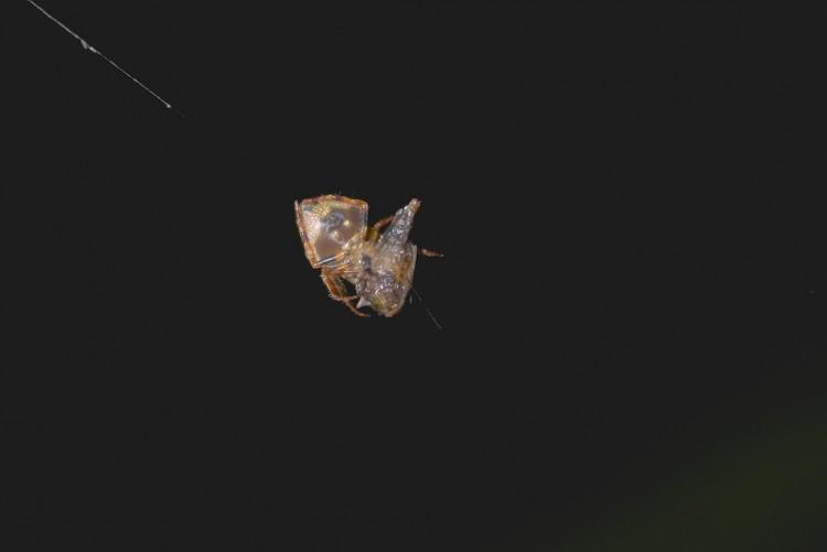 Vue ventrale de la précédente