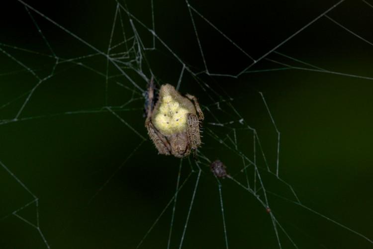 Araneidae 10 mm - May It - 2.11.14