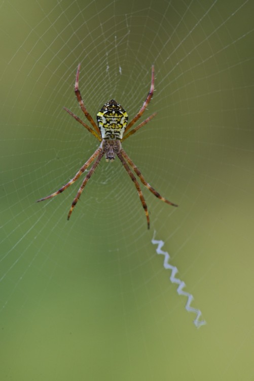 Araneidae - Argiope sp  Femelle -13 mm - Bulusan - 25.9.14