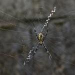 Araneidae - Argiope sp - 13 mm - Bulusan - 14.3.14