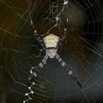 Araneidae - Argiope sp - 20 mm - Bulusan - 17.10.14
