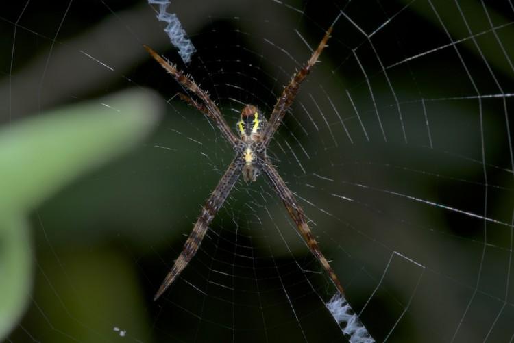Argiope sp - femelle - 10 mm   Lucena - 18.3.15