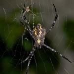 Araneidae - Argiope sp - Femelle : 20 mm - Mâle 7 mm - Bulusan - 17.10.14