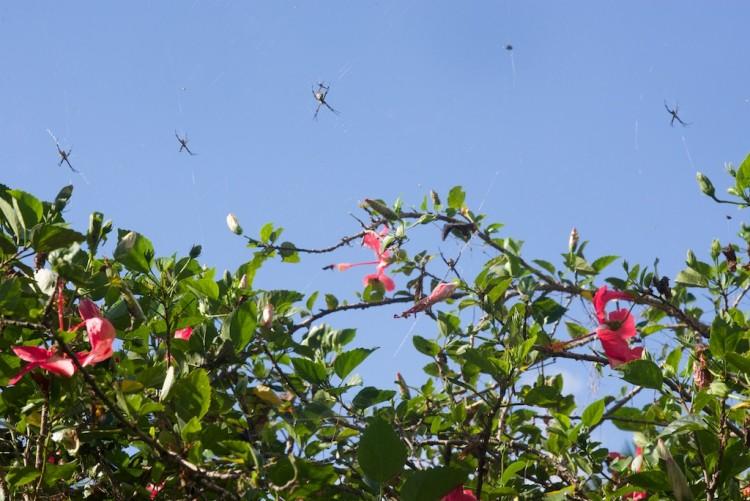 Quelques Argiopes sp dont une en couple, isolée un peu plus haut une Gasteracantha, dans un jardin à  Bulusan, le 24.2.15
