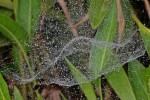 Cyrtophora cylindroïdes - Après de fortes pluies - Banaue - 28.12.13