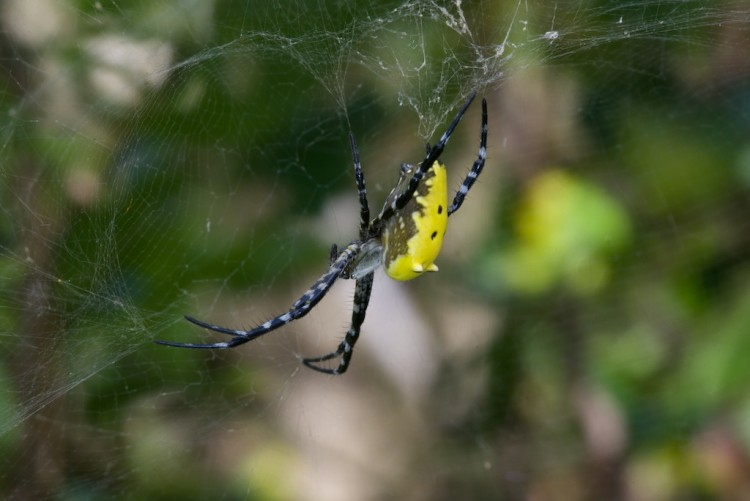 Araneidae - Cyrtophora cylindroides - 17 mm - Bulusan - 27.2.15