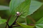 Thomisidae - 6 à 7 mm - Hung Duan - 9.12.12