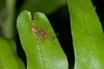 Thomisidae - Amyciaea lineatipes - 6 mm - Romblon - 26.4.15