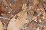 Sparassidae - 6 mm - Sibuyan - 1.5.15