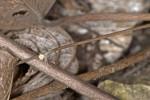 Thomisidae - 3 mm . Romblon - 5.5.15