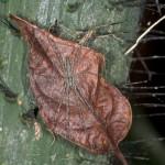 Araneae - Pisauridae - 11 mm - Quezon - 15.5.15