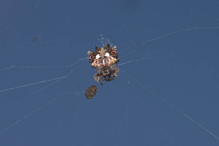 Gasteracantha mammosa 10 mm - Lucena - 29.3.15