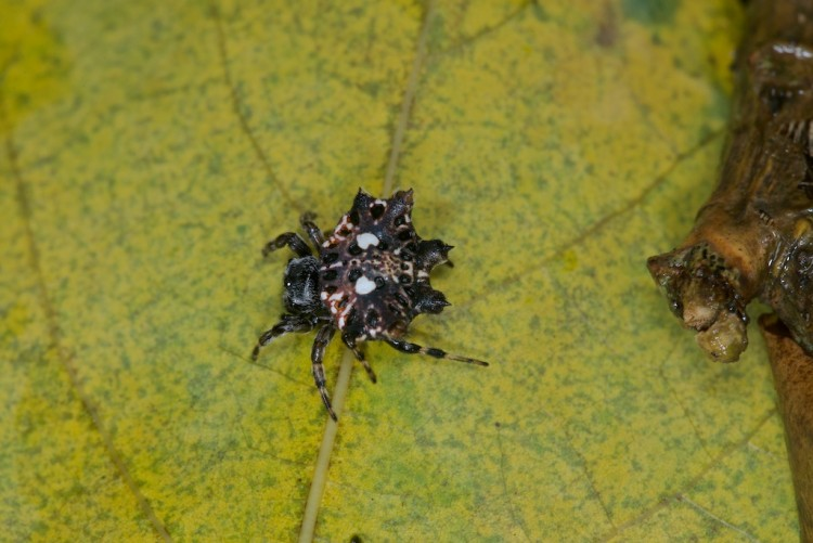 Gasteracantha mammosa - 10 mm - Quezon - 1.11.14