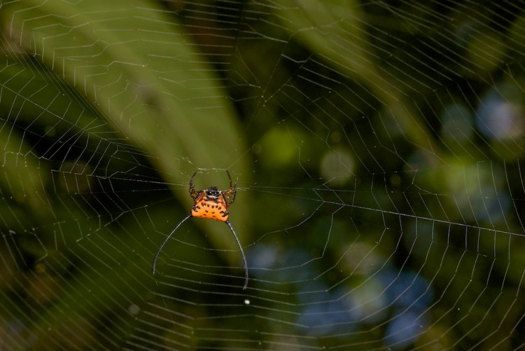 Araneidae - Macracantha arcuata - 11 mm  Sibuyan - 3.5.15