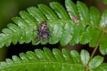 Salticidae - 10 mm - Bulusan lake - 29.9.14