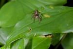 Salticidae - 9 mm - Bulusan lake - 30.9.14