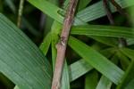 Salticidae - 5 mm - Quezon - 4.10.14