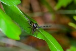 Salticidae - 11 mm - Bulusan lake - 18.10.14