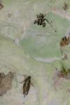 Salticidae - 7 mm - Quezon - 1.11.14