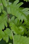 Pisauridae - Hygropoda sp - 10 mm - Bulusan lake - 6.11.14