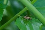 Oxyopidae - 11 mm - Lucena - 31.8.14