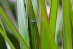 Salticidae - 8 mm - May It - 30.8.14