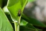Salticidae - Opisthoncus sp - 8 mm - Banaue - 17.9.14