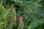 Araneidae - Le cocon précédent - May It - 28.10.14