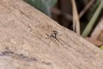 Salticidae - Menemerus bivittatus - 7 mm - Lucena - 18.3.15