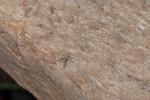 Menemerus bivittatus - Femelle - Femelle - 3 mm - Lucena - 18.3.15