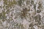 Salticidae - 12 mm - Quezon -