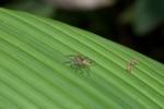 Salticidae - 10 mm - Quezon - 19.3.15