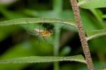 Oxyopidae - 11 mm - Romblon - 24.5.15