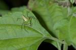 Oxyopidae - 13 mm - Mindoro - 27.3.15